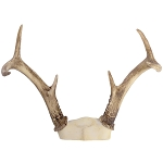 Deer Antler Rack -White Tail, 3 point