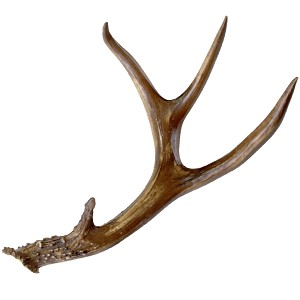 Gathered 4 Point Black Tail Deer Antler By Bci Crafts